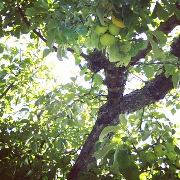 Apfelbaum - minzgrün Veggie Food Blog