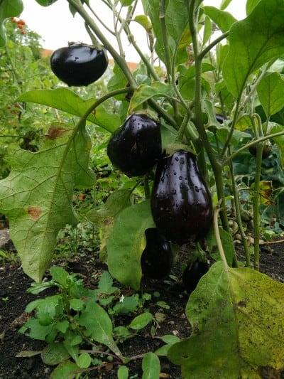 Auberginenpflanze